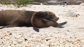 Chiuda su del leone marino del bambino e della madre su una spiaggia al genovesa di isla nelle isole di galapagos stock footage