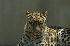 Chiuda in su del leopardo immagini stock libere da diritti