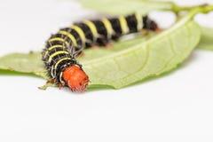 Chiuda su del lepidottero di orbicularis di Peridrome Immagine Stock Libera da Diritti