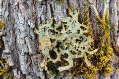 Chiuda su del lichene variopinto immagini stock libere da diritti