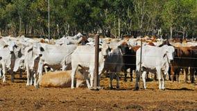 Chiuda su del manzo del brahman ad un'iarda del bestiame archivi video