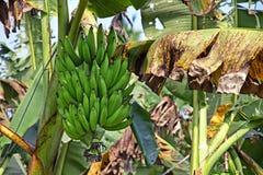 Chiuda su del mazzo della banana del Kerala Fotografia Stock Libera da Diritti