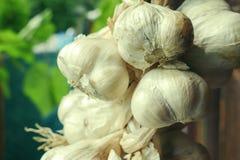 Chiuda su del mazzo di allium sativum bianco dell'aglio Tempo di raccolta asciugandosi sul fondo di legno Attaccatura da asciugar Immagine Stock