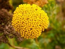 Chiuda su del mazzo di panno giallo del ` di filipendulina di Achillea del giardino Fotografia Stock