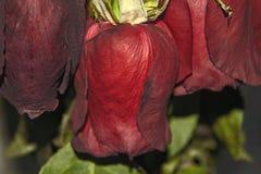 Chiuda su del mazzo sbiadito delle rose immagine stock