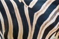 Chiuda su del modello della banda della piuma del corpo della zebra Fotografia Stock Libera da Diritti