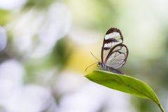 Chiuda su del oto di Greta, la farfalla glasswinged Fotografia Stock Libera da Diritti