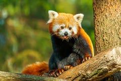 Chiuda su del panda minore Fotografie Stock