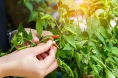 Chiuda su del peperoncino rosso di raccolto della mano dal giardino , mano K del ` s dell'agricoltore Fotografia Stock