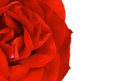 Chiuda su del petalo di rosa rossa. Cenni storici. Fotografia Stock Libera da Diritti