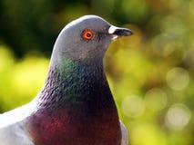 Chiuda su del piccione Fotografia Stock