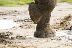 Chiuda su del piede degli elefanti immagini stock libere da diritti
