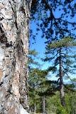 Chiuda su del pino Immagini Stock