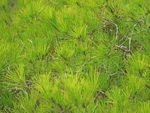 Chiuda su del pino mediterraneo verde come fondo immagini stock libere da diritti