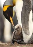 Chiuda su del pulcino del pinguino di re che si siede sui piedi del suo genitore immagini stock libere da diritti