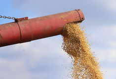 Chiuda su del raccolto della soia Immagini Stock