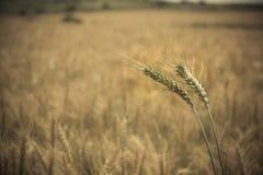 Chiuda su del raccolto giallo verde del grano Fotografia Stock Libera da Diritti