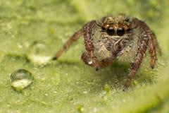 Chiuda su del ragno di salto variopinto sul fondo della pianta della foglia di verde della natura immagini stock libere da diritti