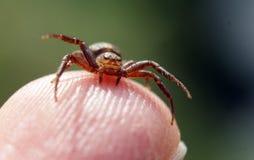 Chiuda su del ragno Thomisidae del granchio che si siede sul dito fotografia stock