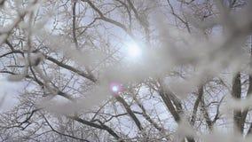 Chiuda su del ramo di albero coperto di strato spesso di neve fresca, retroilluminato dal sole nella foresta dell'inverno il gior stock footage