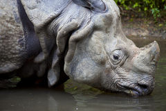 Chiuda in su del rinoceronte che beve, unicornis del rinoceronte Fotografie Stock Libere da Diritti