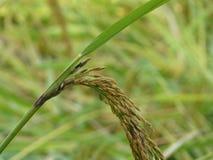 Chiuda su del riso dell'oro prima del raccolto Immagine Stock Libera da Diritti