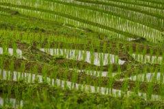 Chiuda su del riso di punto che coltiva la piantagione Immagini Stock