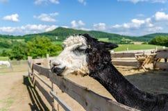 Chiuda su del ritratto della testa della lama Immagine Stock Libera da Diritti