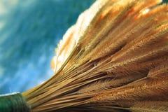 Chiuda su del seme dell'erba asciutta con fondo blu Fotografia Stock Libera da Diritti