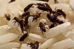 Chiuda su del sitophilus oryzae adulto dei tonchi di riso sul grano del riso Immagine Stock