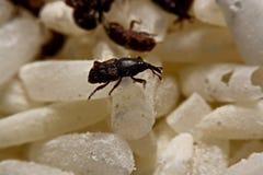 Chiuda su del sitophilus oryzae adulto dei tonchi di riso sul grano del riso Immagini Stock