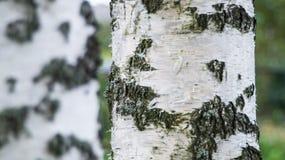 Chiuda su del tronco della betulla situato su un fondo del birchwood Fotografia Stock