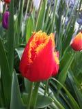 Chiuda su del tulipano di Fabio Immagini Stock Libere da Diritti