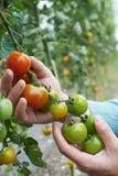 Chiuda su dell'agricoltore Inspecting Tomato Crop immagini stock libere da diritti