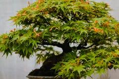 Chiuda su dell'albero dei bonsai dell'acero di Japaneses immagini stock