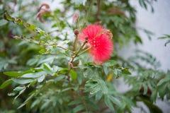 Chiuda su dell'albero, dell'albero della pioggia, del samanea saman & di x28 giganti; Leguminosae& x29; Immagine Stock