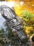 Chiuda su dell'alligatore nella palude della palude Immagini Stock