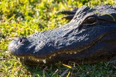 Chiuda su dell'alligatore in terreni paludosi Fotografia Stock Libera da Diritti