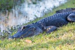 Chiuda su dell'alligatore in terreni paludosi Fotografie Stock