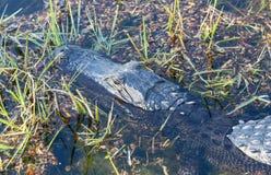 Chiuda su dell'alligatore in terreni paludosi Immagine Stock Libera da Diritti