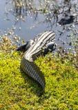 Chiuda su dell'alligatore in terreni paludosi Fotografia Stock