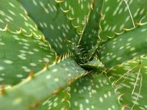 Chiuda su dell'aloe di verde della menta Fotografie Stock Libere da Diritti