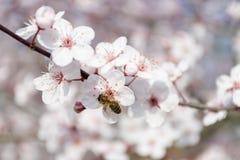 Chiuda su dell'ape che si siede sull'albero bianco e rosso del fiore di ciliegia immagine stock libera da diritti