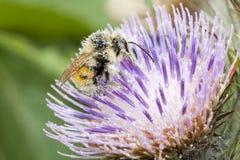 Chiuda su dell'ape del miele, api Immagine Stock