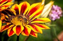 Chiuda su dell'ape del miele sui fiori gialli ed arancio Fotografia Stock