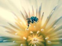 Chiuda su dell'ape sul fiore di loto bianco Immagine Stock