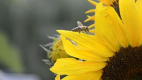 Chiuda su dell'apis mellifera delle api del miele che impollina helianthus annuus giallo dei girasoli in giardino su ora legale video d archivio