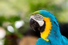 Chiuda su dell'ara blu che afferra sul temporizzatore Immagine Stock Libera da Diritti
