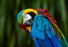 Chiuda su dell'ara blu e gialla, Fotografia Stock