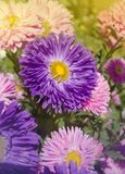 Chiuda su dell'aster blu del fiore Priorità bassa blu del fiore Fotografie Stock